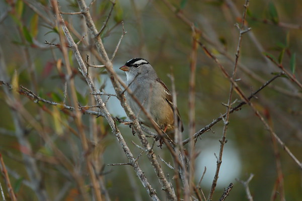 White-crowned Sparrow Nominate subspecies Zonotrichia leucophrys leucophrys/i> Family Passerellidae Celery Fields, Sarasota, Florida 01 January 2021