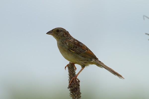 Bachman's Sparrow Nominate subspecies Peucaea aestivalis aestivalis Family Passerellidae Avon Park Air Force Range, Highlands County, Florida 16 July 2017