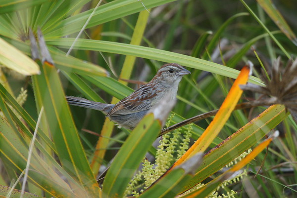 Bachman's Sparrow Nominate subspecies Peucaea aestivalis aestivalis Family Passerellidae Kissimmee Prairie Preserve State Park, Okeechobee, Florida 29 April 2018