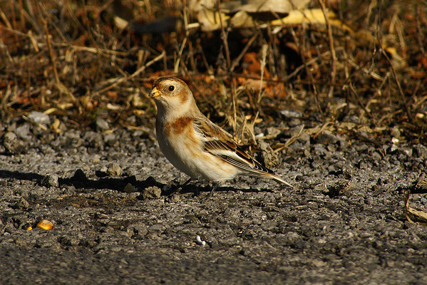 Snow Bunting Nominate subspecies Plectrophenax nivalis nivalis Family Calcariidae St. Rose Road, St. Rose-de-Prescott, Ontario 15 November 2012