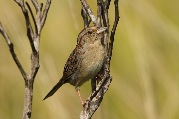 Bachman's Sparrow Nominate subspecies Peucaea aestivalis aestivalis Family Passerellidae Avon Park Air Force Range, Highlands, County, Florida 31 March 2019
