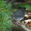 Dark-eyed Junco<br> Nominate subspecies<br> <i>Junco hyemalis hyemalis</i><br> Family <i>Emberizidae</i><br> Lackawanna River Heritage Trail, Jermyn, Pennsylvania<br> 19 July 2016