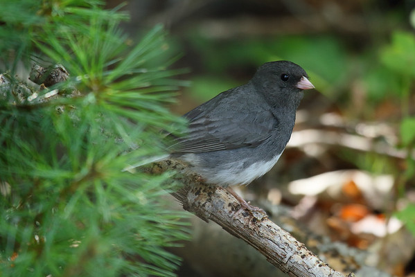 Dark-eyed Junco Nominate subspecies Junco hyemalis hyemalis Family Passerellidae Lackawanna River Heritage Trail, Jermyn, Pennsylvania 19 July 2016