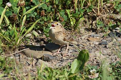 "Grasshopper Sparrow ""Eastern"" subspecies Ammodramus savannarum pratensis Family Passerellidae Archbald Pothole State Park, Archbald, Pennsylvania 30 June 2016"