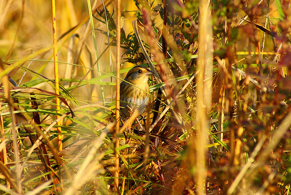Nelson's Sparrow Nominate subspecies Ammodramus nelsoni nelsoni Family Passerellidae Constance Creek, Woodlawn, Ontario 4 October 2012