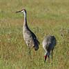 "Sandhill Crane<br> ""Florida"" subspecies<br> <i>Grus canadensis pratensis</i><br> Family <i>Gruidae</i><br> Sebring, Florida<br> 20 September 2016"
