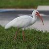 American White Ibis<br> Nominate subspecies<br> <i>Eudocimus albus albus</i><br> Family <i>Threskiornithidae</i><br> Martin Beach Park, Stuart, Florida<br> 18 September 2016