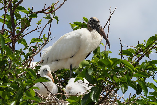 Wood Stork Mycteria americana Family Ciconiidae Wakodahatchee Wetlands, Delray Beach, Florida 15 April 2017