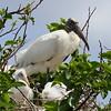 Wood Stork<br> <i>Mycteria americana</i><br> Family <i>Ciconiidae</i><br> Wakodahatchee Wetlands, Delray Beach, Florida<br> 15 April 2017