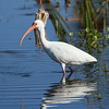 American White Ibis<br> Nominate subspecies<br> <i>Eudocimus albus albus</i><br> Family <i>Threskiornithidae</i><br> Viera Wetlands, Melbourne, Florida<br> 20 February 2017
