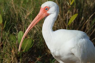 American White Ibis Nominate subspecies Eudocimus albus albus Family Threskiornithidae Fort De Soto Park, Tierra Verde, Florida 1 January 2017