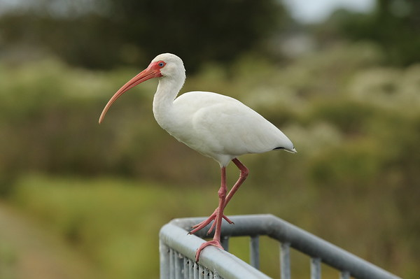 American White Ibis Nominate subspecies Eudocimus albus albus Family Threskiornithidae Celery Fields, Sarasota, Florida 14 November 2019