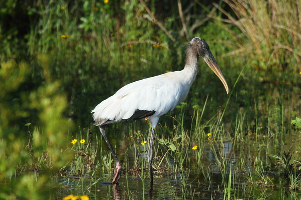 Wood Stork Mycteria americana Family Ciconiidae Avon Park Air Force Range, Polk County, Florida 24 May 2018
