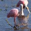 Roseate Spoonbill<br> <i>Platalea ajaja</i><br> Family <i>Threskiornithidae</i><br> Celery Fields, Sarasota, Florida<br> 29 November 2016