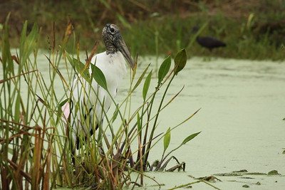 Wood Stork Mycteria americana Family Ciconiidae Palmer Lake, Sarasota, Florida 08 October 2019