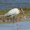 Wood Stork<br> <i>Mycteria americana</i><br> Family <i>Ciconiidae</i><br> Merritt Island National Wildlife Refuge, Titusville, Florida<br> 18 October 2016