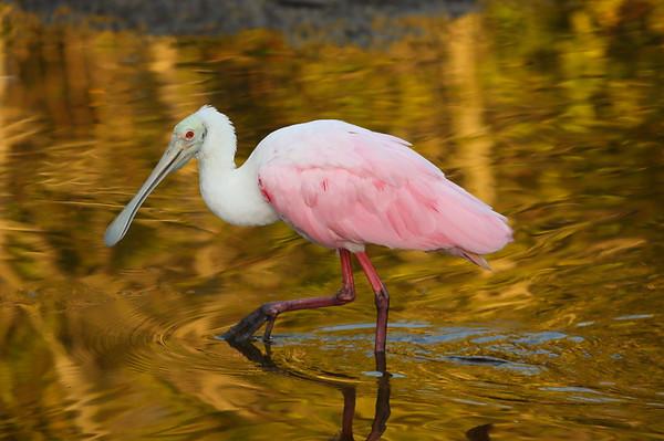 "Roseate Spoonbill Platalea ajaja Family Threskiornithidae J.N. ""Ding"" Darling National Wildlife Refuge, Sanibel, Florida 13 April 2021"