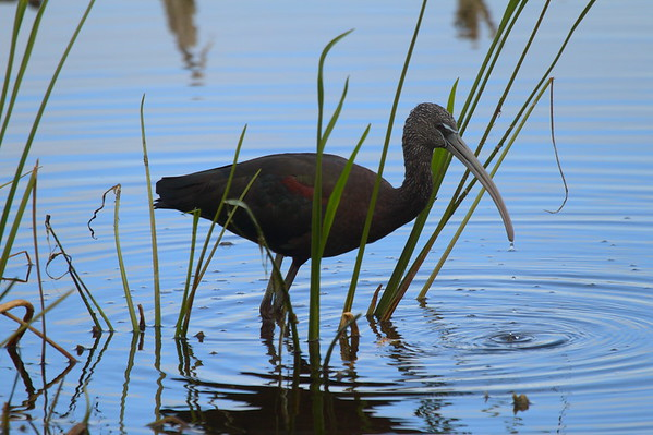 Glossy Ibis Plegadis falcinellus Family Threskiornithidae Viera Wetlands, Melbourne, Florida 10 January 2017