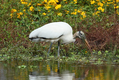 Wood Stork Mycteria americana Family Ciconiidae Circle B Bar Reserve, Lakeland, Florida 22 November 2018