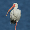 American White Ibis<br> Nominate subspecies<br> <i>Eudocimus albus albus</i><br> Family <i>Threskiornithidae</i><br> Celery Fields, Sarasota, Florida<br> 29 November 2016