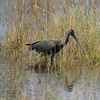 Glossy Ibis<br> <i>Plegadis falcinellus</i><br> Family <i>Threskiornithidae</i><br> Merritt Island National Wildlife Refuge, Titusville, Florida<br> 18 October 2016