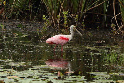 Roseate Spoonbill Platalea ajaja Family Threskiornithidae Crooked Lake Prairie, Frostproof, Florida 20 June 2021