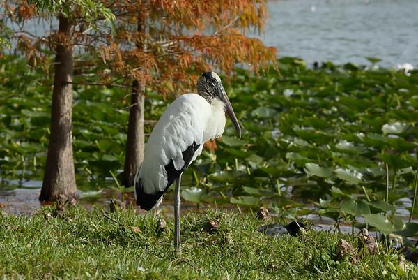 Wood Stork Mycteria americana Family Ciconiidae Lake Morton, Lakeland, Florida 01 January 2021