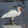 American White Ibis<br> Nominate subspecies<br> <i>Eudocimus albus albus</i><br> Family <i>Threskiornithidae</i><br> Lake Parker, Lakeland, Florida<br> 22 January 2018