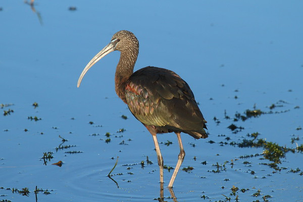 Glossy Ibis Plegadis falcinellus Family Threskiornithidae Circle B Bar Reserve, Lakeland, Florida 11 January 2017