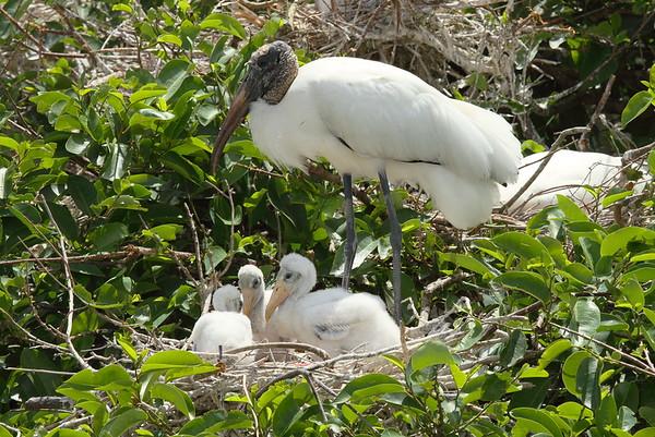 Wood Stork Mycteria americana Family Ciconiidae Wakodahatchee Wetlands, Delray Beach, Florida 15 April 2017