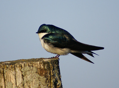 Tree Swallow Tachycineta bicolor Earl Armstrong Road, Gloucester, Ontario