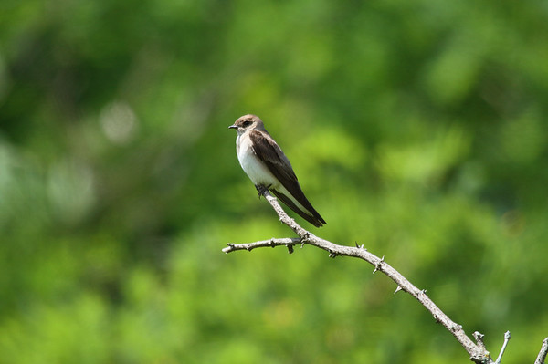 Northern Rough-winged Swallow Nominate subspecies Stelgidopteryx serripennis serripennis Archbald Pothole State Park, Archbald, Pennsylvania 11 July 2016