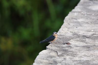 "Barn Swallow (juvenile) ""American"" subspecies Hirundo rustica erythrogaster Lake Apopka Wildlife Drive, Apopka, Florida 17 July 2020"