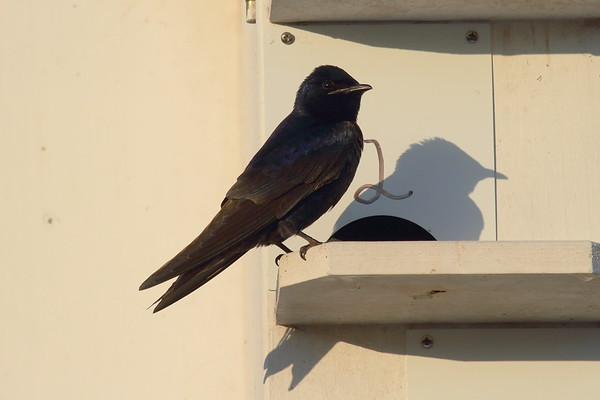 Purple Martin Nominate subspecies Progne subis subis Celery Fields, Sarasota, Florida 29 March 2017