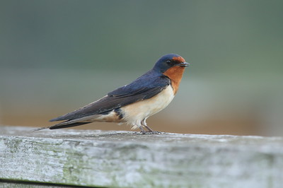 "Barn Swallow ""American"" subspecies Hirundo rustica erythrogaster Huntington Beach State Park, Murrells Inlet, South Carolina 15 May 2018"
