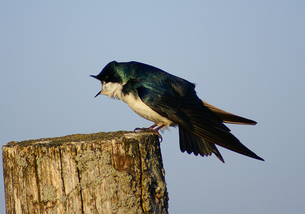 Tree Swallow Tachycineta bicolor Earl Armstrong Road, Gloucester, Ontario  The tree swallow yawns.  Boredom with the human and his strange black clicky object, or grogginess before that early morning cup of coffee...you decide.