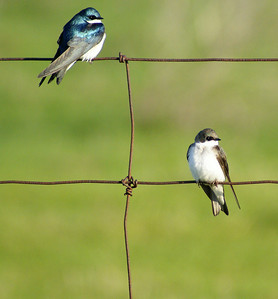 Tree Swallow (adult & juvenile) Tachycineta bicolor Earl Armstrong Road, Gloucester, Ontario  On my way to work one morning I found a large mixed-species flock of swallows, all lined up on a wire fence.  Among the flock were two juvenile tree swallows (the brown one pictured above).  I almost mistook them for bank swallows, which are similar in size and plumage, but the faint bluish flecks of pre-moult plumage gave away their true identity.
