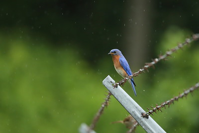 Eastern Bluebird (male) Nominate subspecies Sialia sialis sialis Vogel State Park, Blairsville, Georgia 27 June 2021