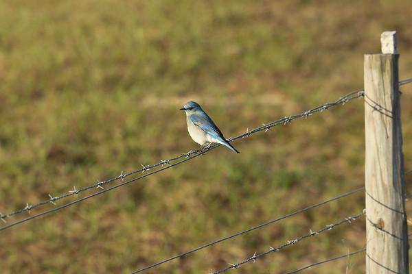 Mountain Bluebird (male) Sialia currucoides Dade City, Florida 29 January 2020