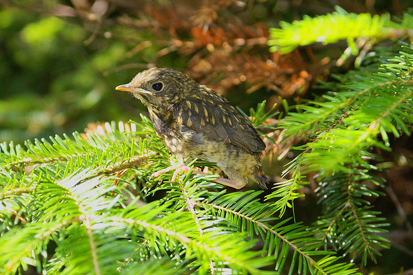 Bicknell's Thrush (fledgling) Catharus bicknelli Mt. Mitchell, Christmas Mountains, New Brunswick 9 July 2010  It is an exciting time when the chicks finally leave the nest.  Usually that is the last time you see them, but occasionally the chicks stay close to the nest and are relocated.  This chick was located only a few feet from the nest site, sitting on a balsam fir branch.  A quick look at its band revealed it to be #2291-38985, the first of the four Bicknell's chicks to fledge.
