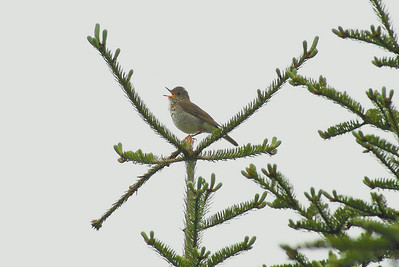 Bicknell's Thrush (male) Catharus bicknelli Sweat Hill, Christmas Mountains, New Brunswick 6 June 2010  A male Bicknell's thrush sings atop a balsam fir tree at Sweat Hill.  My research team captured and banded this bird in early June.  He is a second-year male, #1461-67852 with colour bands white-black over yellow-light green.  The red colour band on the left leg is to designate this bird as being banded and thus residing in New Brunswick; other monitoring programs in Vermont, Nova Scotia, and Québec, use different colours to designate the different state or province of origin.  Bicknell's thrushes are particularly shy and are rarely actually seen.  This was the only bird I was able to photograph in a natural setting, and unfortunately overcast rainy conditions created a terrible backlight for the photo.  I have enhanced the photo to show more detail on the bird - I apologize for any loss of quality this entailed.