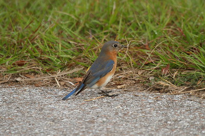 Eastern Bluebird (female) Nominate subspecies Sialia sialis sialis Celery Fields, Sarasota, Florida 18 February 2019