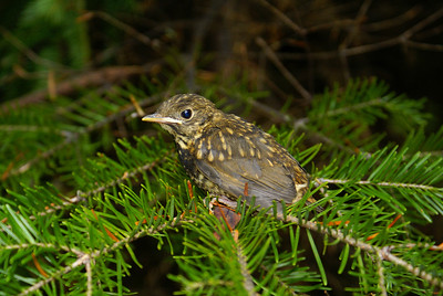 Bicknell's Thrush (fledgling) Catharus bicknelli Mt. Mitchell, Christmas Mountains, New Brunswick 9 July 2010