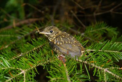 Bicknell's Thrush (fledgling) Catharus bicknelli Mt. Mitchell, Christmas Mountains, New Brunswick 9 July 2010