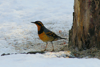Varied Thrush (male) Ixoreus naevius Cold Creek Conservation Area, Nobleton, Ontario 21 February 2010  A visitor from the Pacific Northwest, a male varied thrush has been spending the winter in southern Ontario, enjoying a regular supply of whole corn from a local birder.  Keeping with typical thrush behaviour, the varied thrush kept hidden in thickets and under spruce trees, rarely giving full glimpses of itself for more than a few seconds.  I was fortunate enough to be positioned near a favourite feeding spot, and the varied thrush gave me a full-body view of himself before flying off into a nearby tangle of branches.