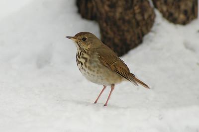 """Hermit Thrush """"Eastern"""" subspecies Catharus guttatus faxoni Hurdman Park, Ottawa, Ontario 27 January 2011"""