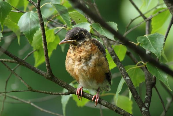 American Robin (fledgling) Nominate subspecies Turdus migratorius migratorius Lackawanna Heritage Trail, Archbald, Pennsylvania 24 June 2016