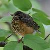 American Robin (fledgling)<br> Nominate subspecies<br> <i>Turdus migratorius migratorius</i><br> Lackawanna Heritage Trail, Archbald, Pennsylvania<br> 24 June 2016