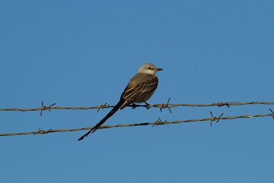 Scissor-tailed Flycatcher (male) Tyrannus forficatus Titusville, Florida 10 January 2017