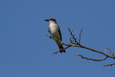 Grey Kingbird Nominate subspecies Tyrannus dominicensis dominicensis Fort Zachary Taylor Historic State Park, Key West, Florida 19 April 2017